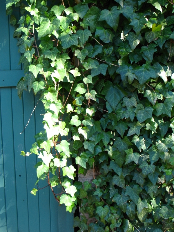 English ivy 7 indoor plants that are low maintenance for for Indoor plants with less maintenance
