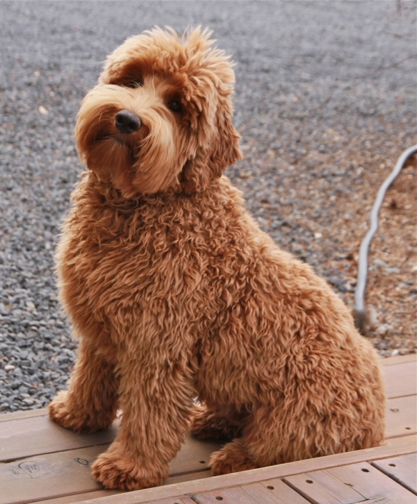 Labradoodle - 7 Breeds of Dogs That Are Best for People with…