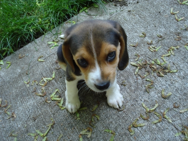 Beagle 7 Cutest Dog Breeds We All Want To Own