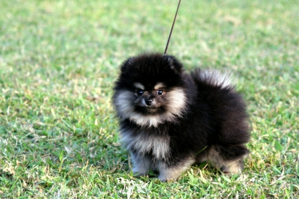 Pomeranian 15 Best Small Dog Breeds For Indoor Pets