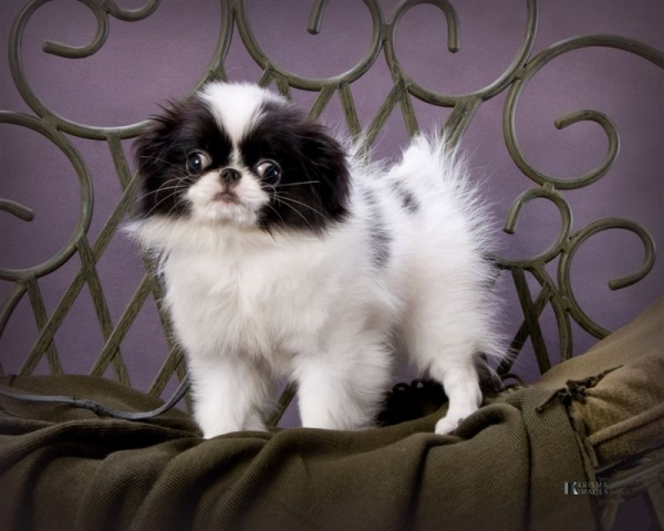 Japanese Chin - 15 Best Small Dog Breeds for Indoor Pets ... …