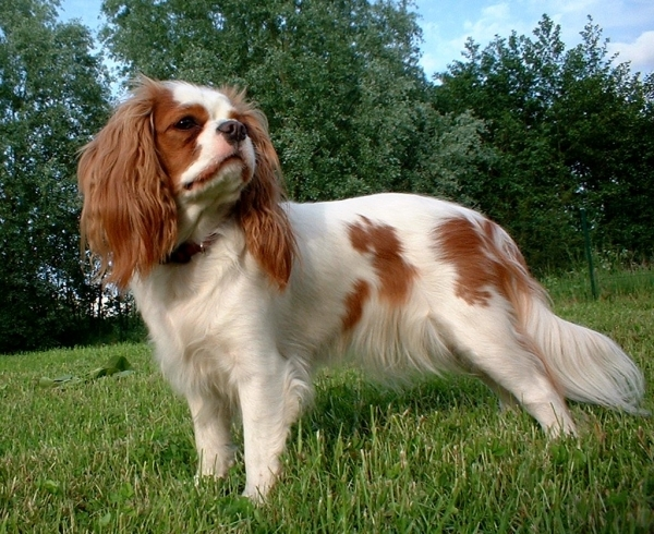 English Toy Spaniel 15 Best Small Dog Breeds For Indoor
