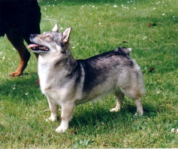 ... dog is super athletic excels in obedience and is a herding dog Unique Looking Dog Breeds