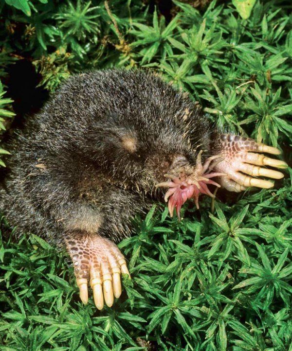 The Star Nosed Mole - 9 Unusual Animals and What Makes Them…