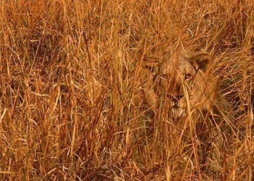 the lion 7 incredible examples of animal camouflage �
