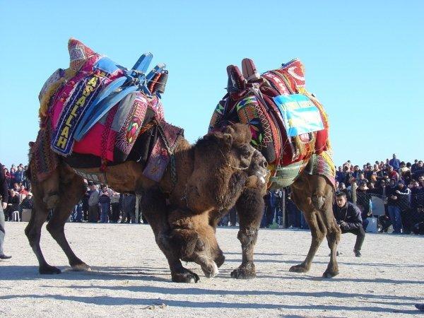 Camel Wrestling Championships, Turkey