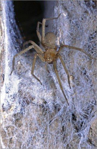 The Chilean recluse spider: common and venomous |Chilean Recluse