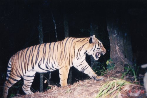 Growling with Tigers: Night Safari, Laos