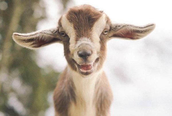goat,goats,mammal,vertebrate,fauna,