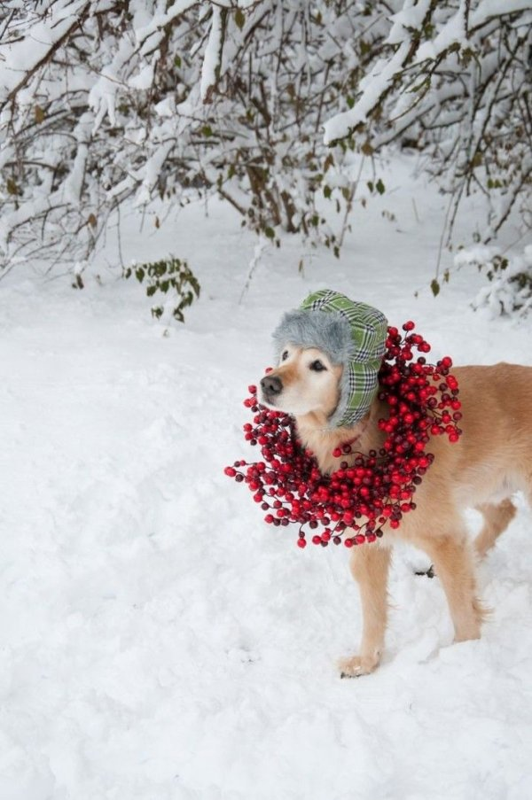 Adorable golden retriever 44 pictures of pets at christmas - Keeping outdoor dog happy winter ...