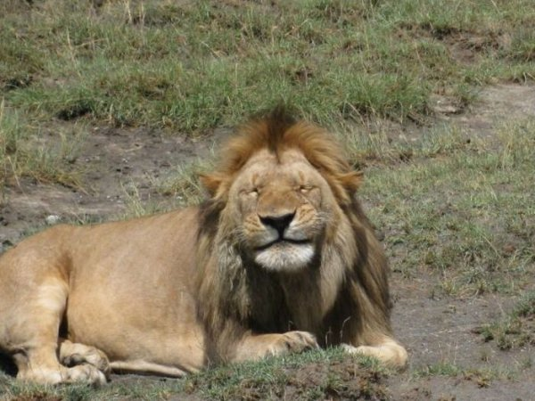 mammal,vertebrate,lion,fauna,wildlife,