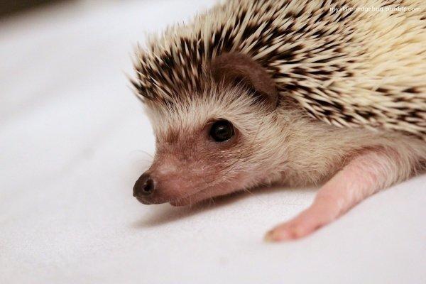 hedgehog,erinaceidae,domesticated hedgehog,mammal,vertebrate,