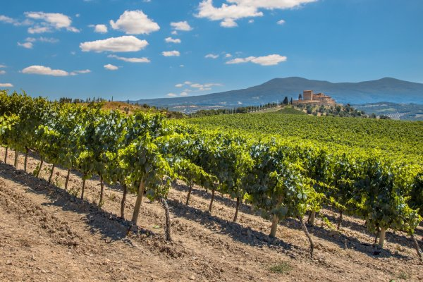 vineyard, field, agriculture, tree, wine,