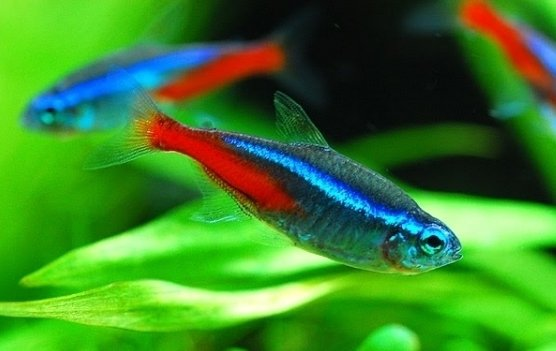 Neon tetras 7 cool tropical fish to add to your tank for Cool tropical fish