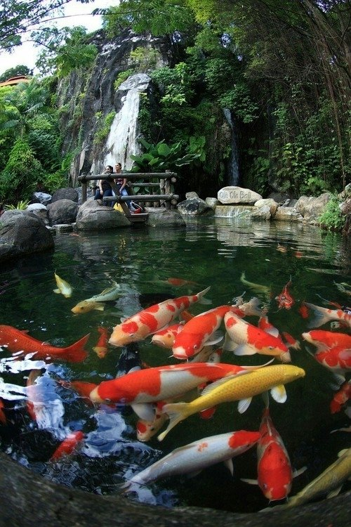 koi fish 7 organisms with a surprisingly long life span