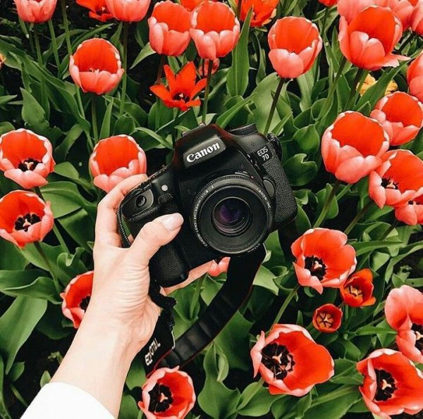 flower, plant, flowering plant, tulip, cut flowers,