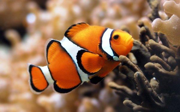 anemone fish,pomacentridae,marine biology,fauna,photography,