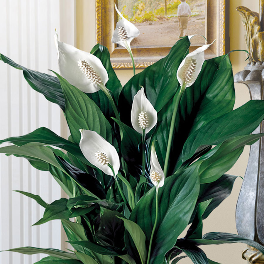 Peace lilly 7 best potted plants to consider having in your home lush green leaves and interesting white flowers peace lilly will be a perfect addition to your shabby chic home dhlflorist Image collections
