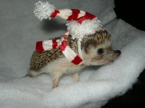 hedgehog, erinaceidae, mammal, domesticated hedgehog, snout,