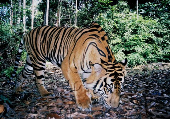 Tracking with Tigers: Sumatra Tiger Research Project, Indonesia