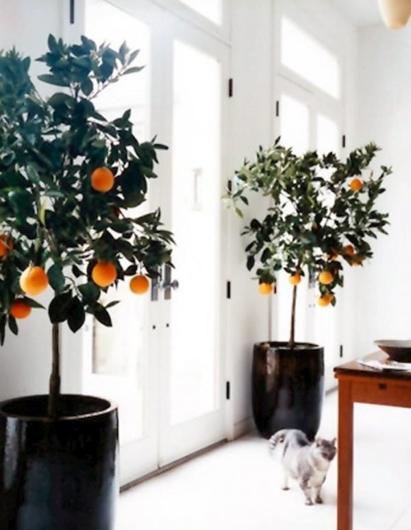 Indoor Citrus Plants 27 Awesome Indoor Houseplants To