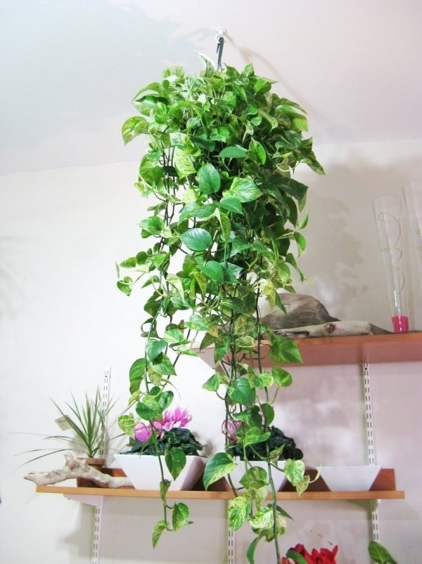 Trailing leaves 27 awesome indoor houseplants to brighten up - Good flowering house plants ...