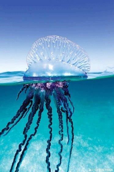 largest man of war jellyfish - photo #5