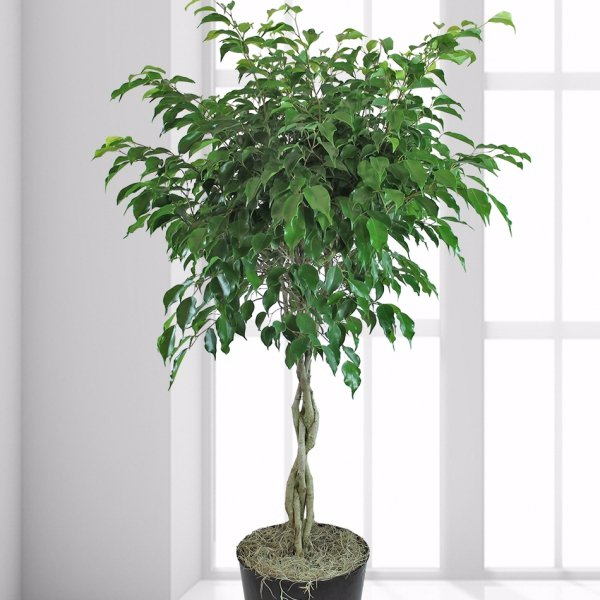 plant, tree, produce, food, land plant,