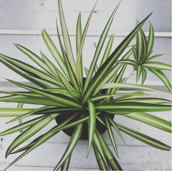 plant, tree, botany, agave, land plant,