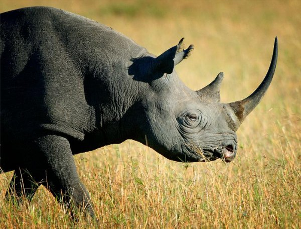 Black Rhino - Our World – Endangered Animals ... …