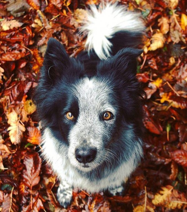 dog, dog breed, dog like mammal, dog breed group, leaf,