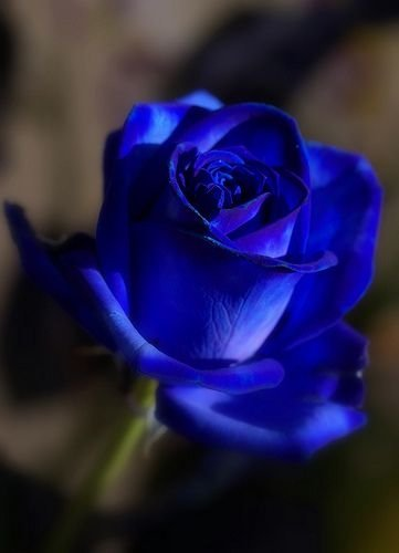 blue rose 76 gorgeous roses you 39 ll wish you could grow
