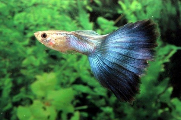 guppies are the perfect addition to any tropical fish tank