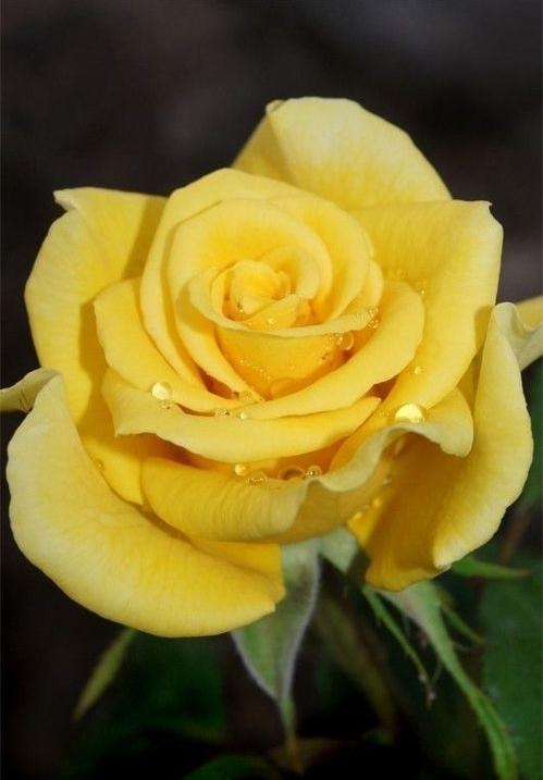 jaunes roses - 7 rose couleurs et leurs significations : le…