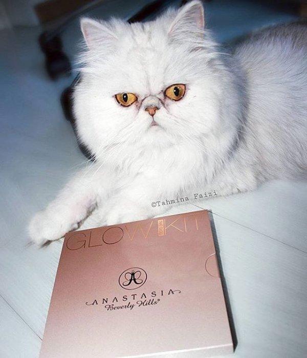 cat, pet, mammal, persian, animal,