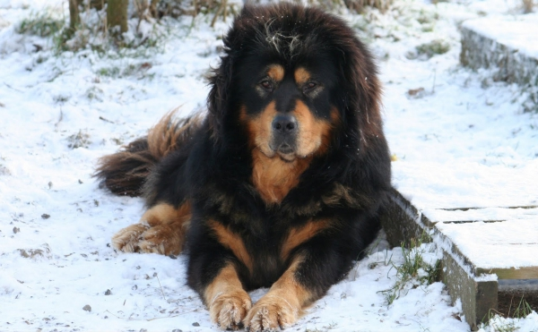 Tibetan Mastiff - 7 Unusual Dog Breeds You May Not Know of ...