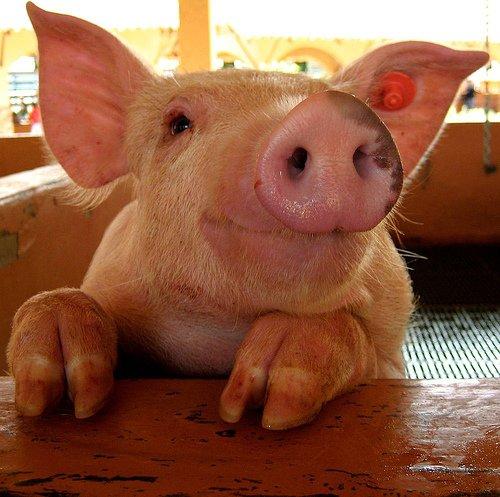 domestic pig,pig,mammal,vertebrate,pig like mammal,