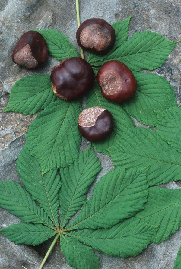 Horse Chestnut