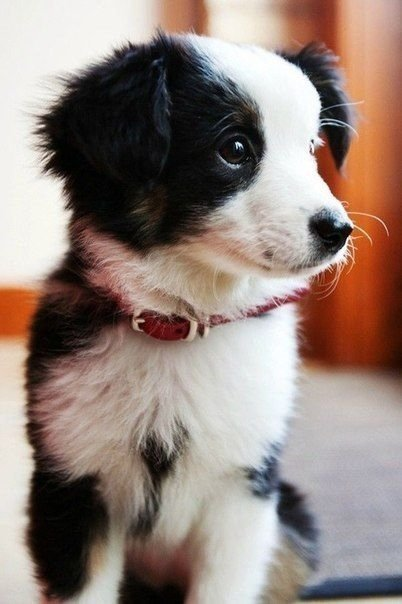 dog,mammal,vertebrate,dog breed,australian shepherd,