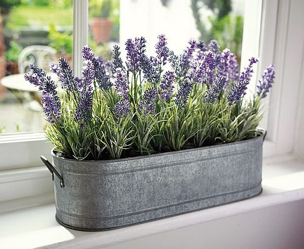 lavender,plant,flower,english lavender,grass,