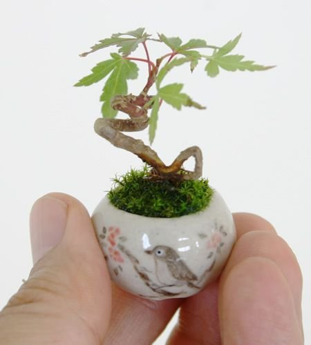 plant,bonsai,houseplant,produce,branch,