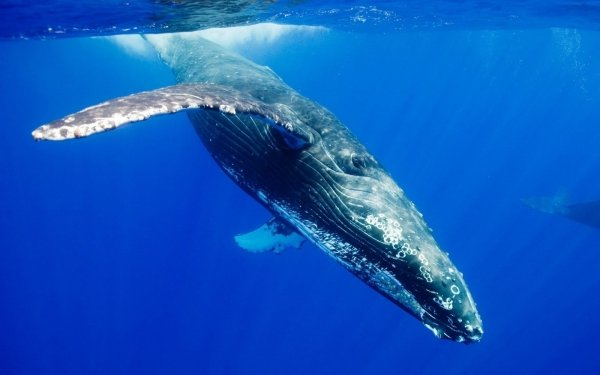 Blue Whale - 7 Endangered Species That You Want to Learn More…
