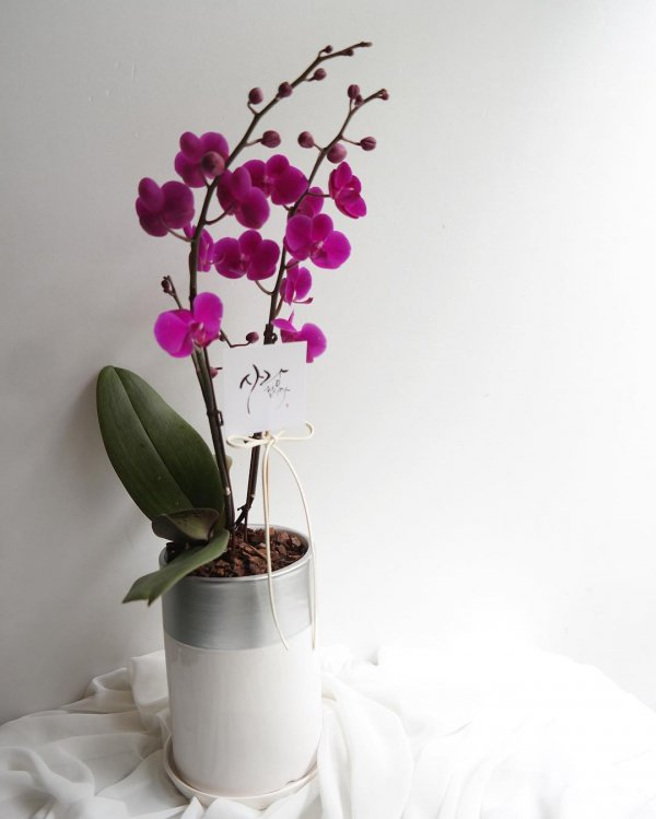 white, flower, moth orchid, plant, pink,