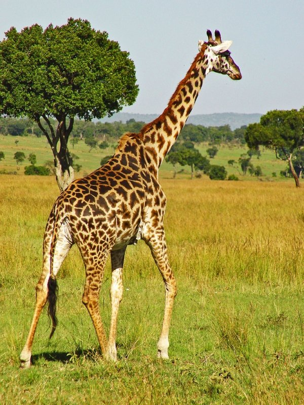 Running - 7 Interesting and Fun Facts about Giraffes ... …