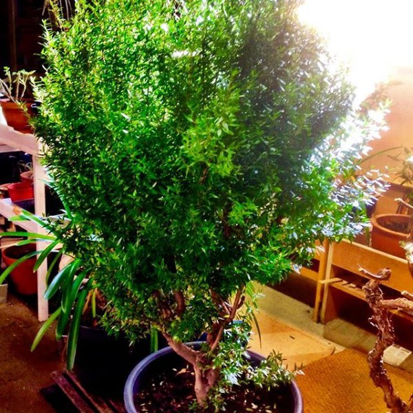 tree, plant, bonsai, houseplant, land plant,