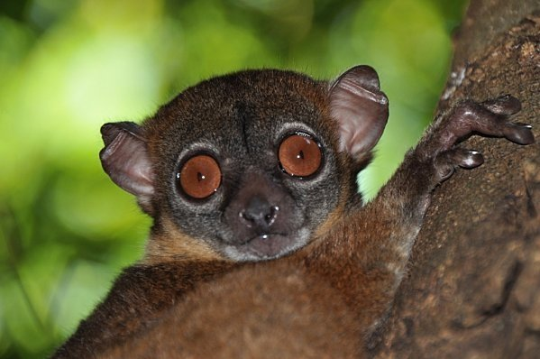 Northern Sportive Lemur - 9 Endangered Animals around the ...