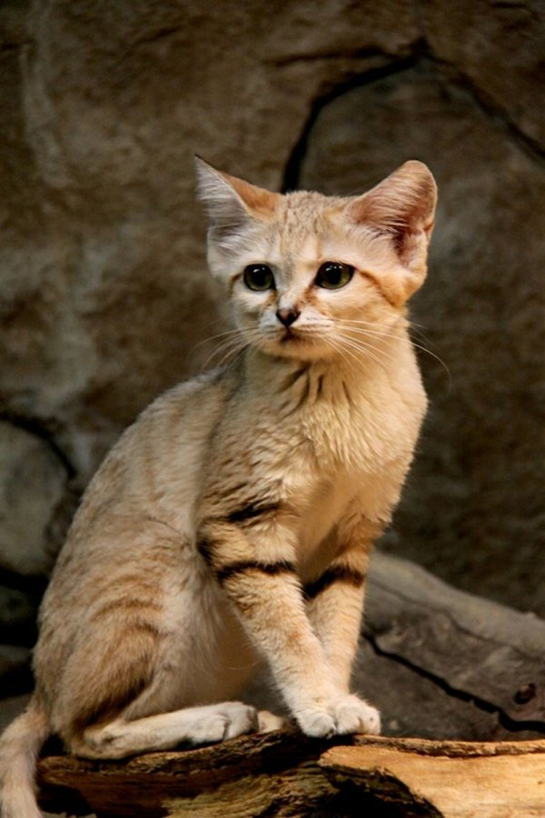 The Sand Cat - 7 Amazing Animal Adaptations for Life in the Desert…