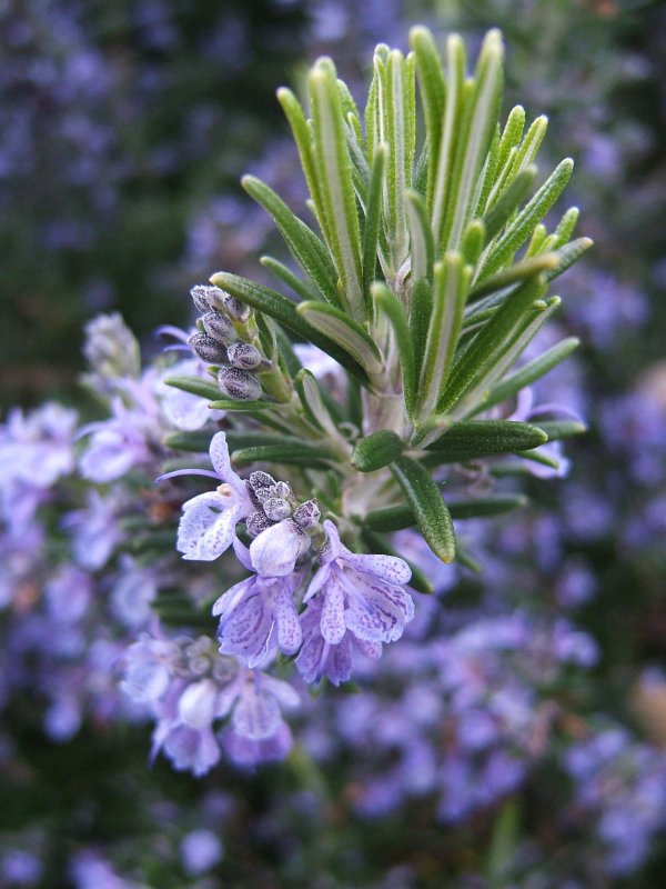 Rosemary Leaves to Get Rid of Dandruff