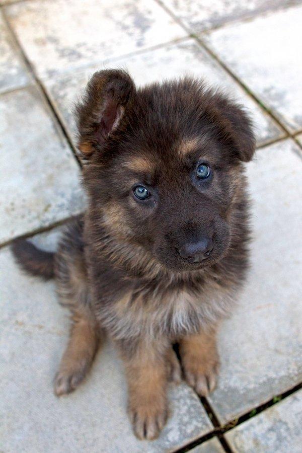 dog,mammal,vertebrate,dog breed,german spitz mittel,