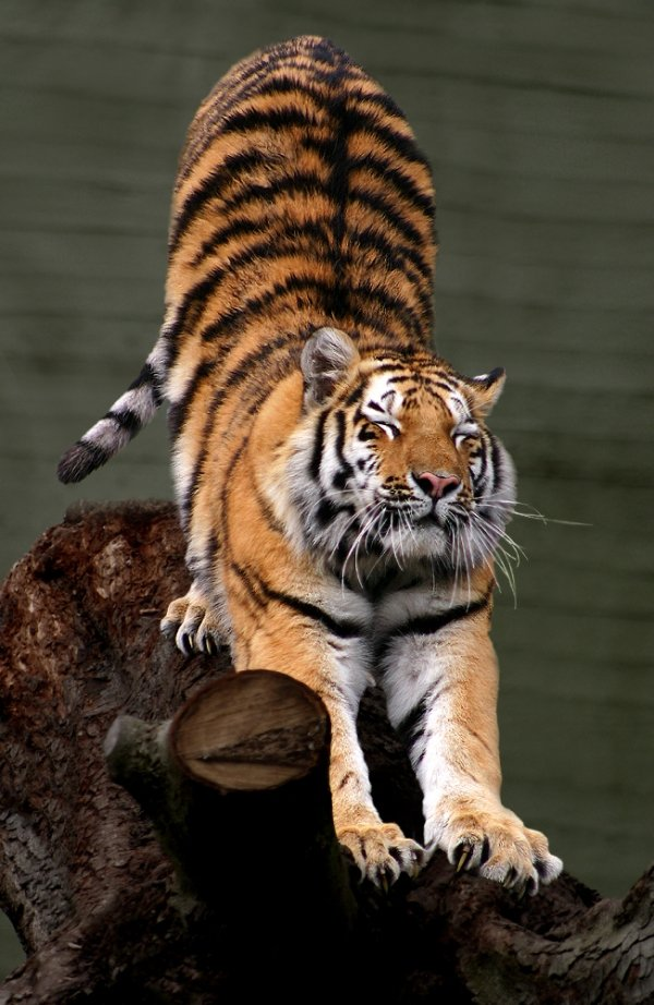 Tiger 7 Amazing Big Cats That Roar Rather Than Purr